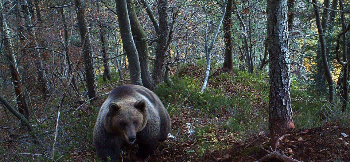 orso parco Adamello Brenta