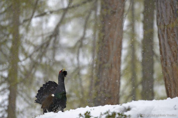 gallo cedrone neve bosco
