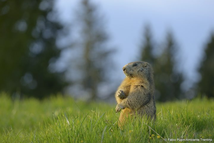 Marmotta (foto Fabio Pupin)