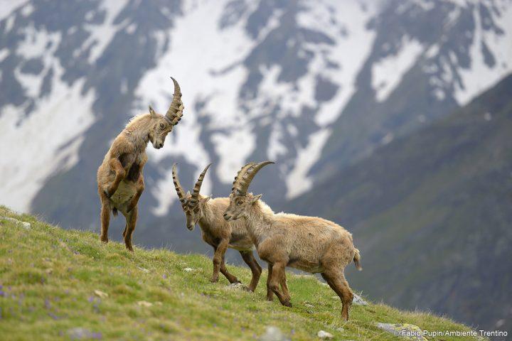 tre stambecchi Alpi