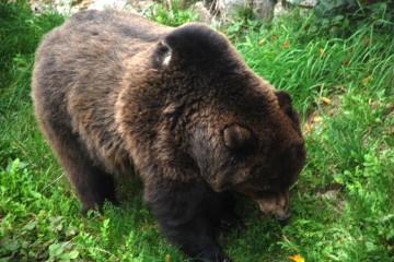 L'orso in Trentino