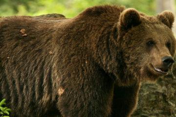 L'orso, Fototeca Trentino Sviluppo S.p.A., foto di Marco Simonini