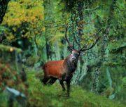 cervo-parco-nazionale-stelvio