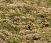 cervi-animali-selvatici-parco-stelvio-zanella