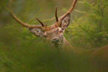 bramito-cervo-trentino
