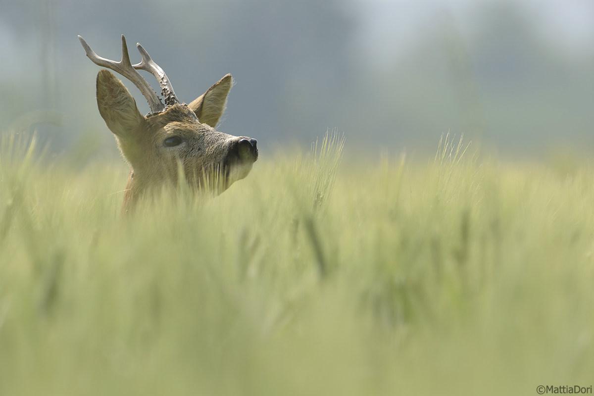 animale selvatico che bruca l'erba nella radura